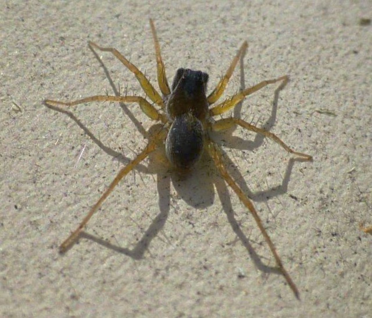 My Backyard Macro Nature Arachnid Arachni-therapy Wildlife & Nature Arachnipocalypse Macrophotography Spider
