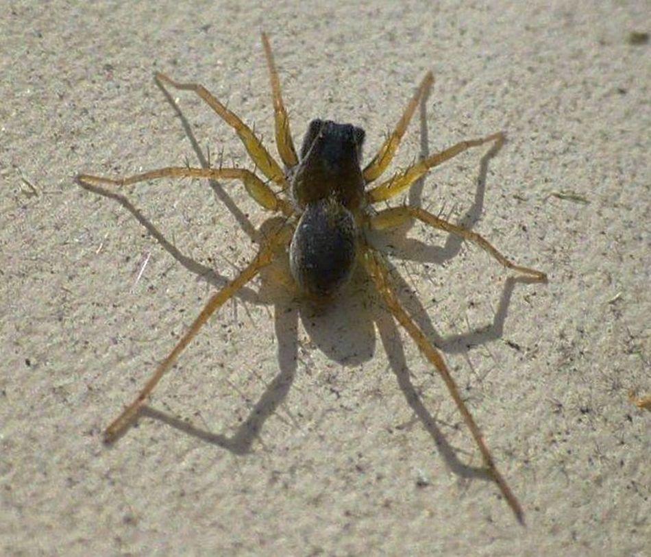 My Backyard Macro Nature Arachnid Arachni-therapy Wildlife & Nature Arachnipocalypse Macrophotography Spider