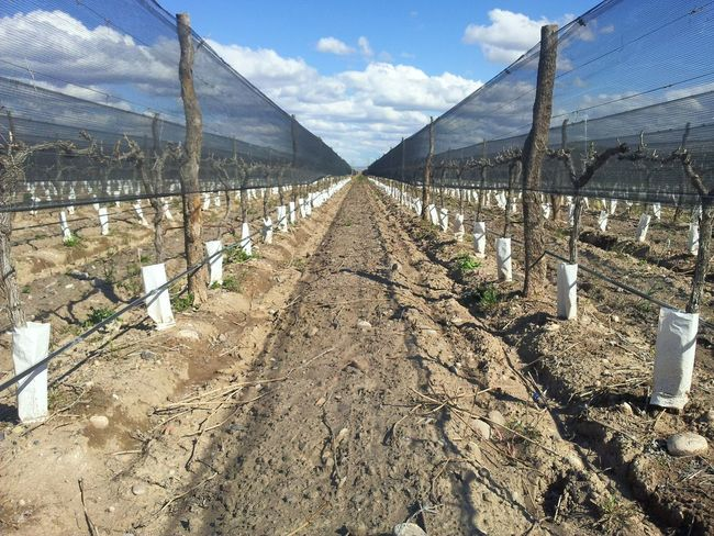 Nueva viña. First Eyeem Photo Vineyards  Vineyards In Winter Straight Lines Sunset Symmetry In Nature Converging Lines