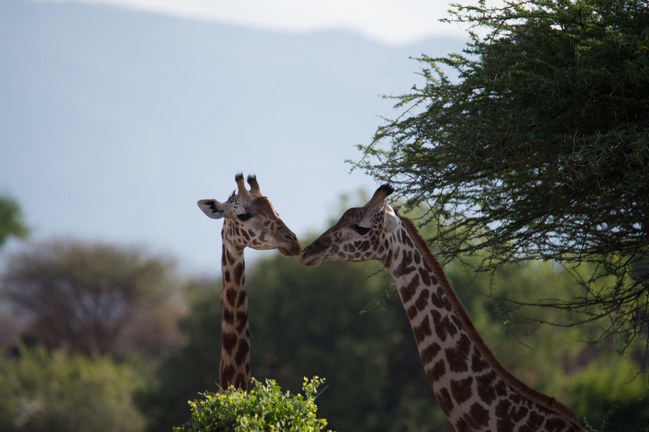 Giraffes Against Sky