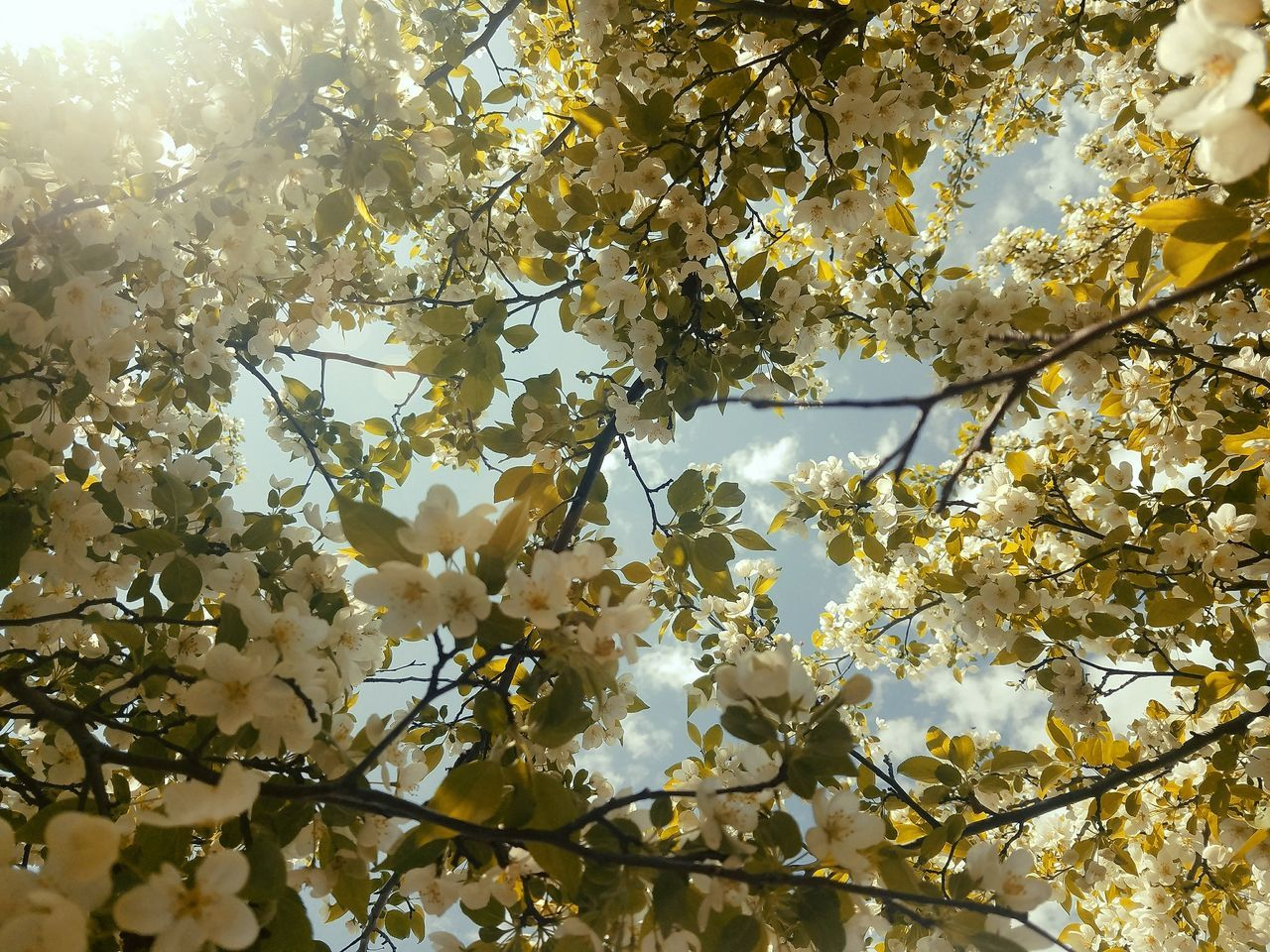 Here's a lovely day. Laying beneath this beauty, on a blanket with a good book in my hands. Yup Nature Tree Branch Full Frame Backgrounds Flower Sky Day Bokeh Android Photography Samsung Galaxy S7 Edge EyeEm Best Shots EyeEm
