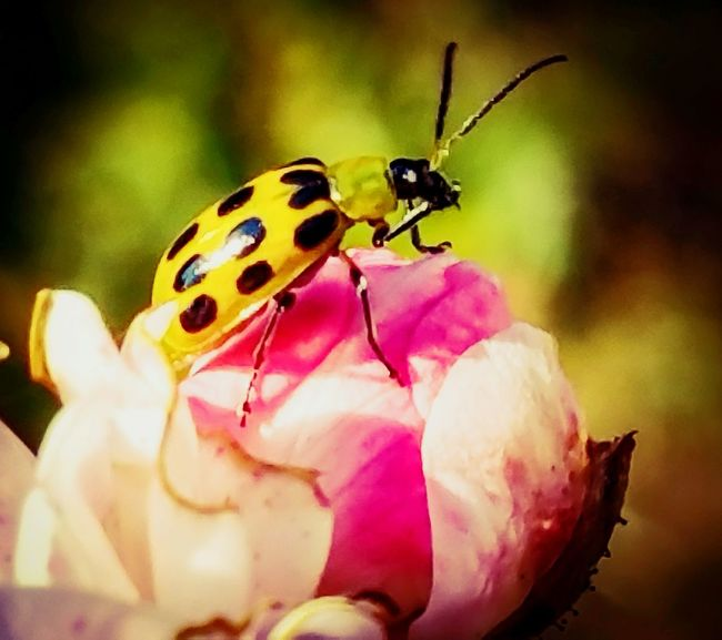 Insect Wildlife Close-up Pink Color Nature Beauty In Nature Focus On Foreground Multi Colored Vibrant Color Pink Ladybug Ladybugmacro Ladybugs Photography Macro Macro Photography Macro_collection Nature_collection EyeEm Best Shots EyeEm Nature Lover Outdoor Life Nature On Your Doorstep Nature_collection Landscape_collection EyeEmNatureLover Outdoor Pictures Natures Diversities Outdoor Photography Fall Collection Roses, Flowers, Nature, Garden, Bouquet, Love, Nature