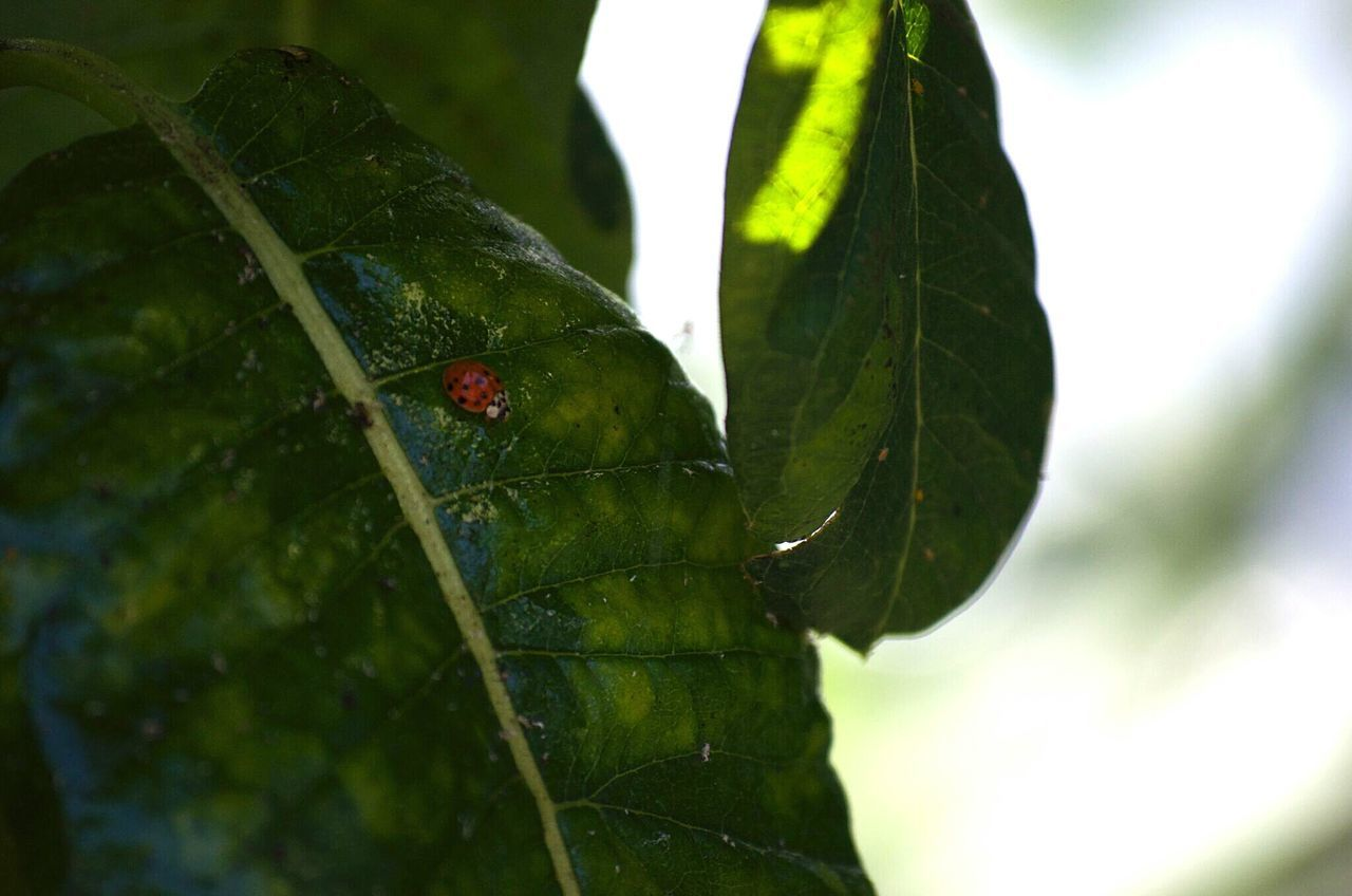 Close-Up Of Ladybug On Plant Leaf