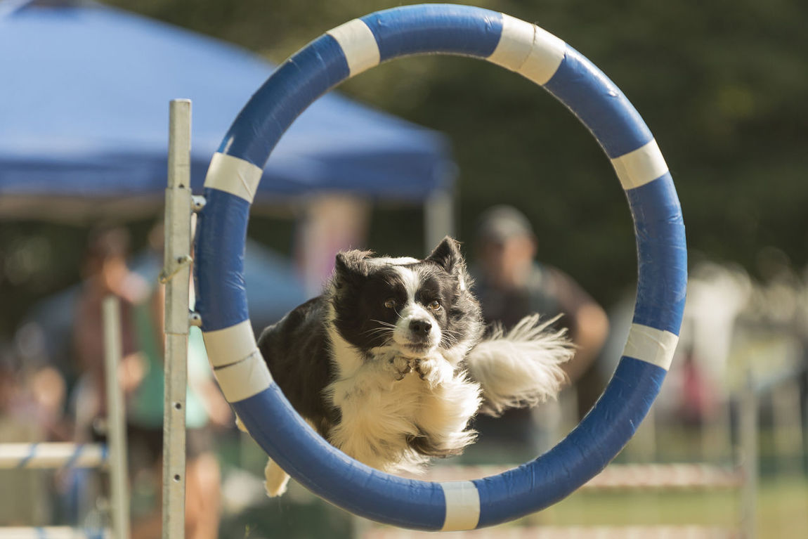 Uh-oh.... That face says he's regretting his life decision to jump early Alertness Animal Animal Head  Animal Photography Animal Themes Black And White Dogs Black White Dogs Border Collie Close-up Depth Of Field Dog Dog Agility Dog Show Domestic Animals Fluffy Dogs Hoop Jumping One Animal Pets Portrait Selective Focus Sport