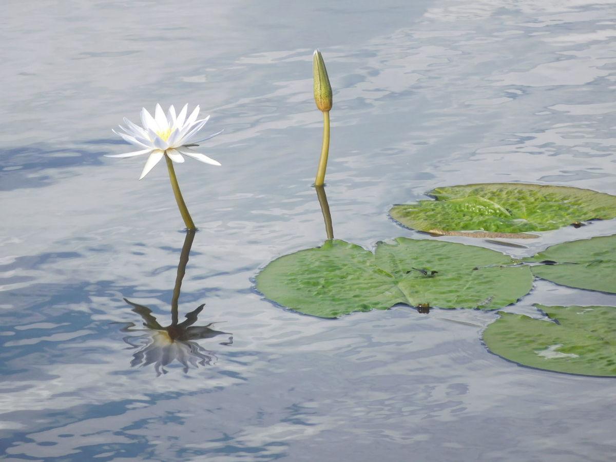 African Mirror Waterlily Flower Fragility Freshness Nature Okavango Delta Okavango River Botswana