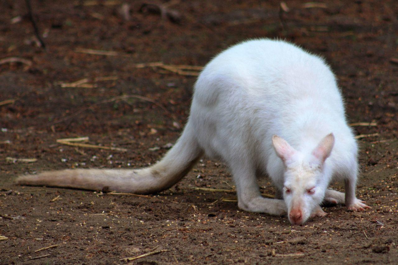 Beautiful stock photos of kangaroo, Albino, Alertness, Animal Themes, Animals In The Wild
