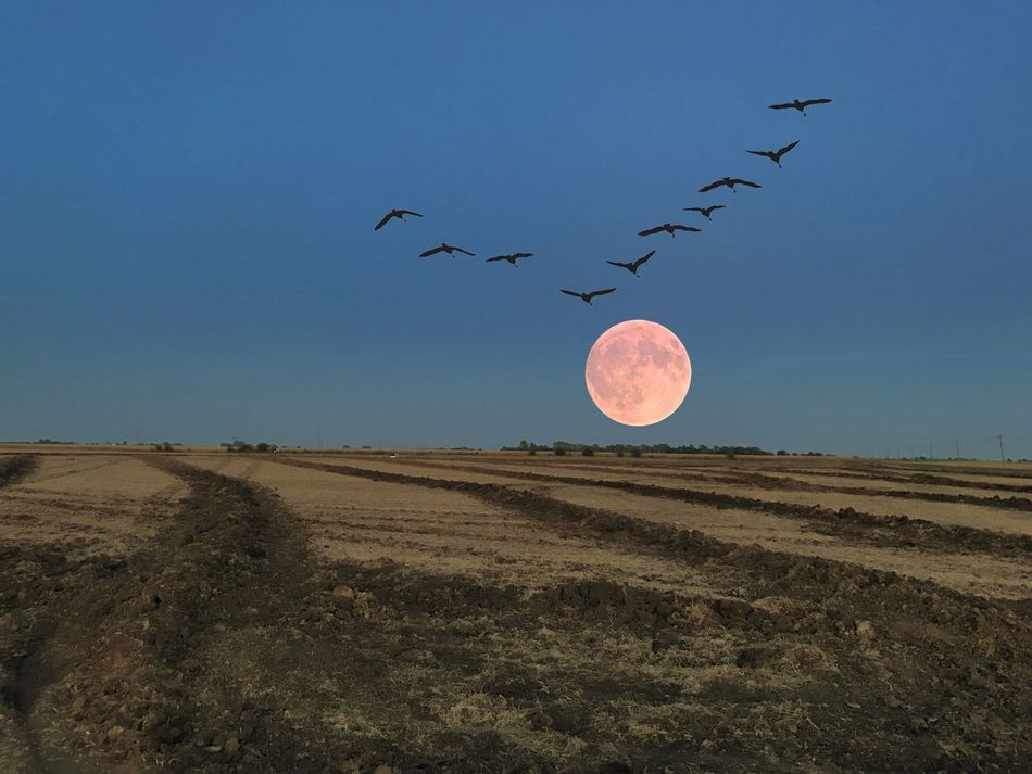 Harvest Moon with birds Bird Clear Sky Blue Tranquility Flying Tranquil Scene Landscape Animal Themes Sun Scenics Mid-air Nature Beauty In Nature Calm Outdoors Rural Scene Dawn Non-urban Scene Horizon Over Land No People