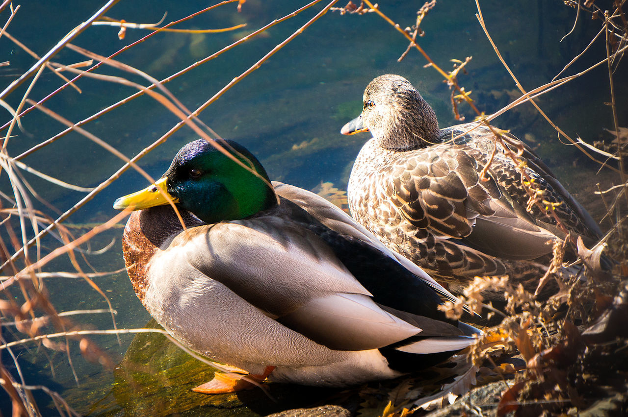 Animal Birds Day Ducks Nature No People Outdoors Pond Cool Guy Handsome