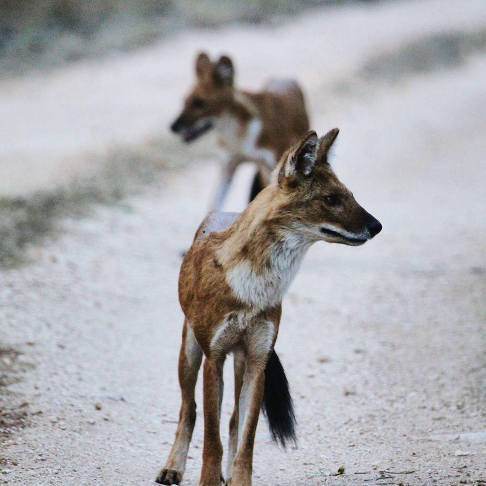 Wildlife & Nature Wildlife Photography Wildlife Wilddogs Pack India Forest First Eyeem Photo
