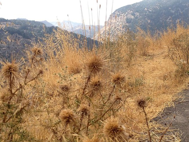 Thistles Diversity In Nature Mountains Lebanon