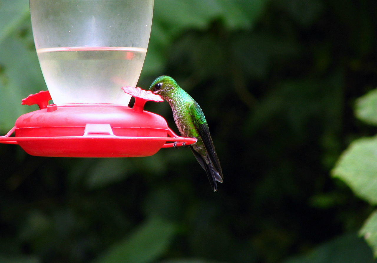 Costa Rica Animal Themes Animal Wildlife Animals In The Wild Bird Bird Feeder Buzzing Close-up Costa Costa Rica Day Family Focus On Foreground Hanging Holiday Hovering Hummingbird Insect Love Motion Nature No People One Animal Outdoors Perching Tree