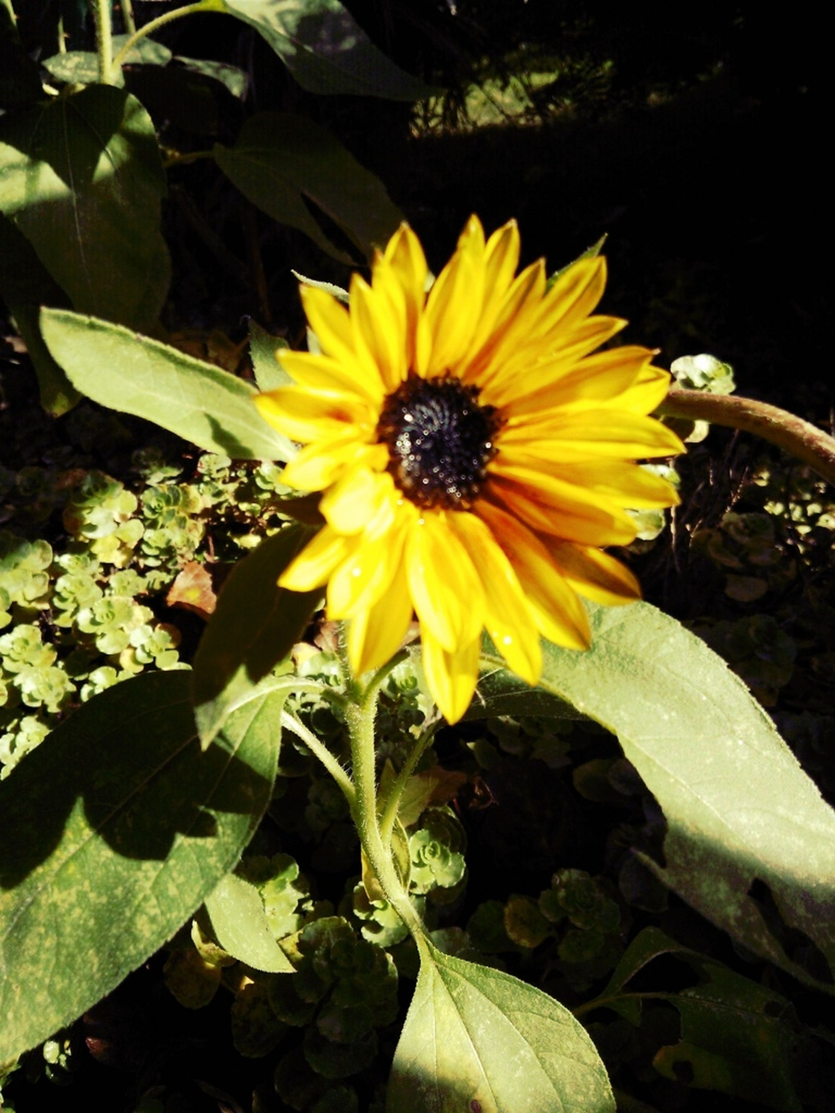 flower, petal, yellow, freshness, flower head, fragility, growth, leaf, beauty in nature, blooming, pollen, plant, single flower, nature, sunflower, close-up, in bloom, outdoors, high angle view, blossom