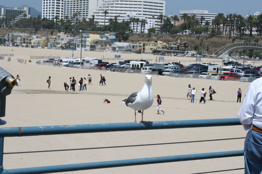 Seagull on Santa Monica Pier Animals In The Wild Bird Day Large Group Of Animals Large Group Of People Nature Outdoors People Santa Monica Santa Monica Beach Santa Monica Coast Santa Monica Pier Santa Monica Pier, California Santa Monica, California Seagull Seagull At The Beach Seagull Serenity Seagulls Seagulls And Sea Seagulls In The City Water