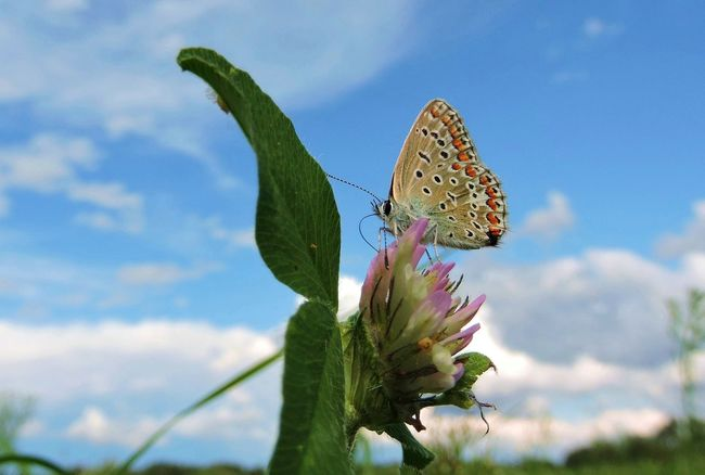 The common blue, Polyommatus icarus, is a small butterfly in the family Lycaenidae, Clouds Clouds And Sky Flower Focus On Foreground Lycaenidae, Macro Nature No People Polyommatus Icarus Icarus Sky The Common Blue