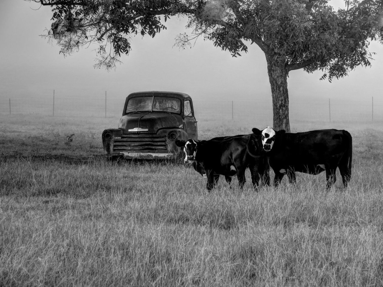 Farmer's cows Cows Grazing Animal Themes Tree No People Transportation Mode Of Transport Domestic Animals Field Land Vehicle Nature Mammal Outdoors Day cows morning fog