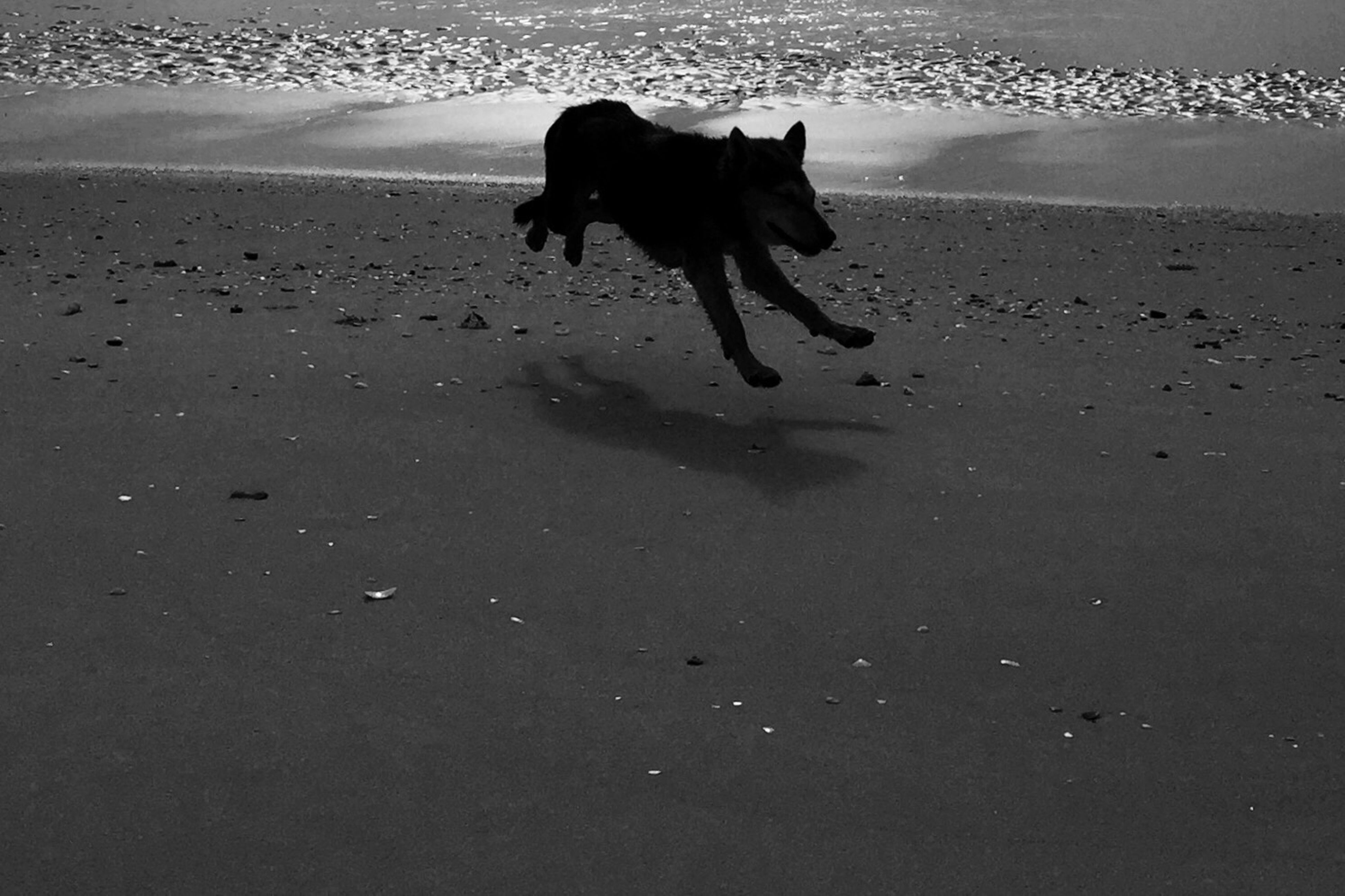 animal themes, dog, pets, domestic animals, one animal, beach, mammal, sea, sand, water, shore, horizon over water, nature, high angle view, full length, sunlight, shadow, walking, day, running