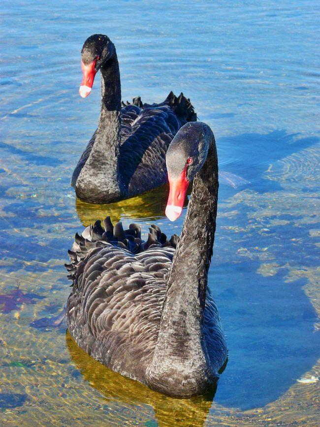 2 Swans Beak Bird Black Swan Day Feathers Lake Outdoors Red Beak Rippled Swan Swimming Water Wildlife