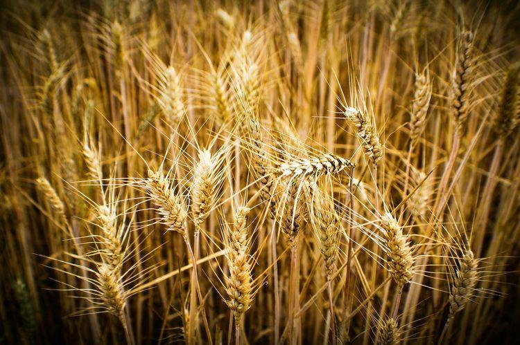 Check This Out EyeEm Gallery Grain Grainy Images The 43 Golden Moments Trigo Espigas Macro Rural Scene Covarrubias 43 Golden Moments Colour Of Life