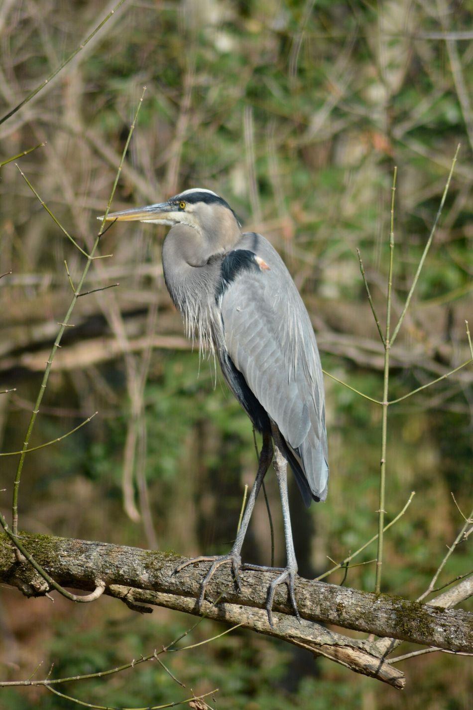 Heron One Animal Animal Wildlife Bird Perching Nature Fall Autumn Tamronlens Mcalpinecreekpark