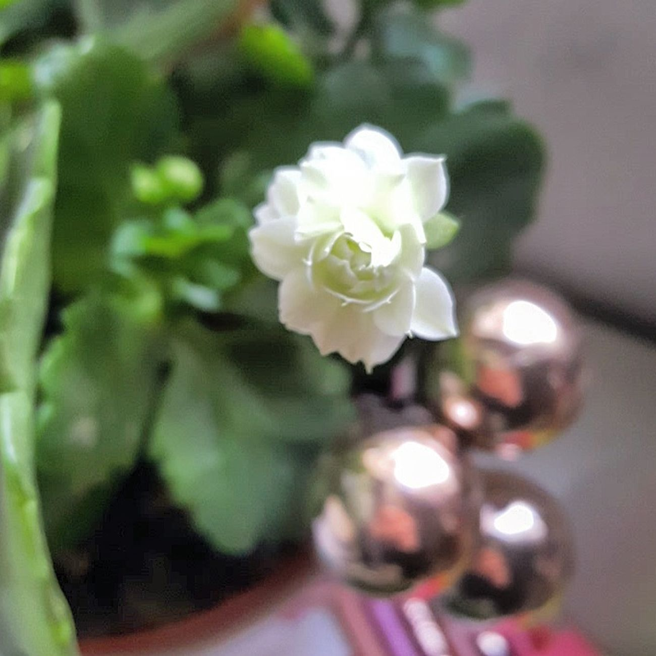 • Bloom where you are planted • Flower Kalanchoe White Hellospring Plant Bloom