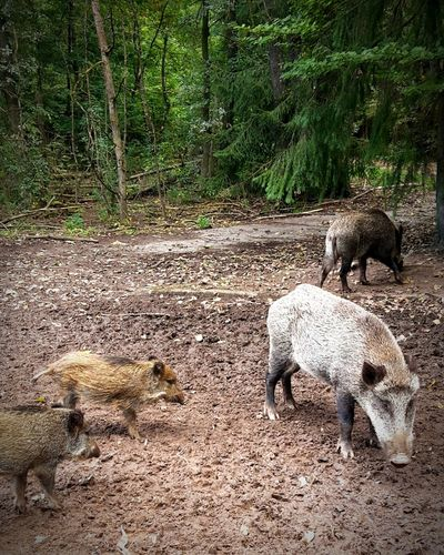 Animal Themes Day No People Animals In The Wild Outdoors Nature Mammal Domestic Animals Pig