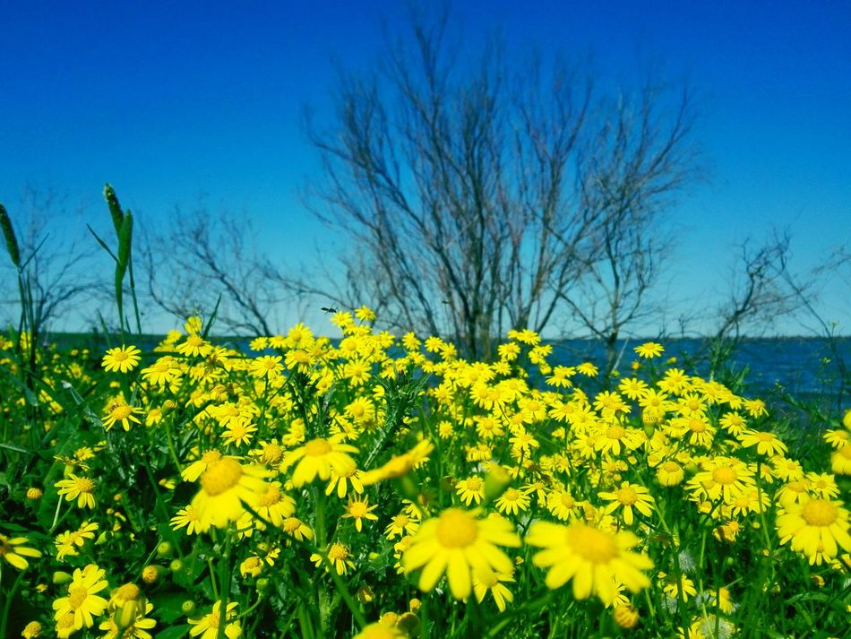 Spring Spring Flowers Yellow Yellow Flowers Yellow Flower Blue Blue Sky Good Weather Turkmen Turkmen Sahra Turkmensahra Golestan Iran