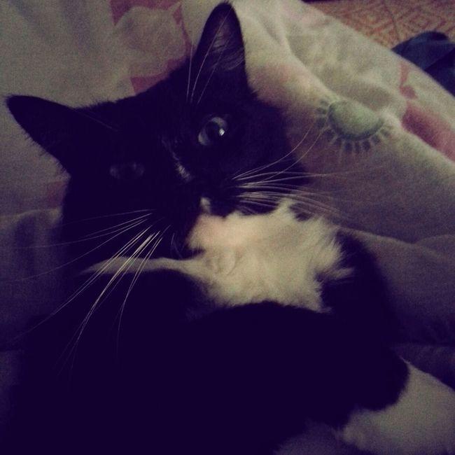 Cat Lovely Relaxing Keksas