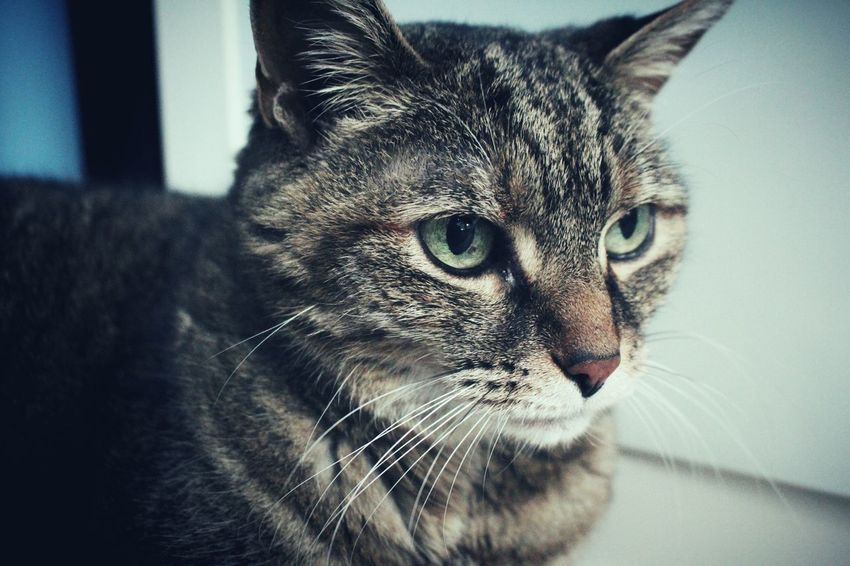 Domestic Cat Pets Domestic Animals Feline Whisker One Animal Animal Themes Mammal Close-up Looking At Camera Indoors  Portrait No People Day