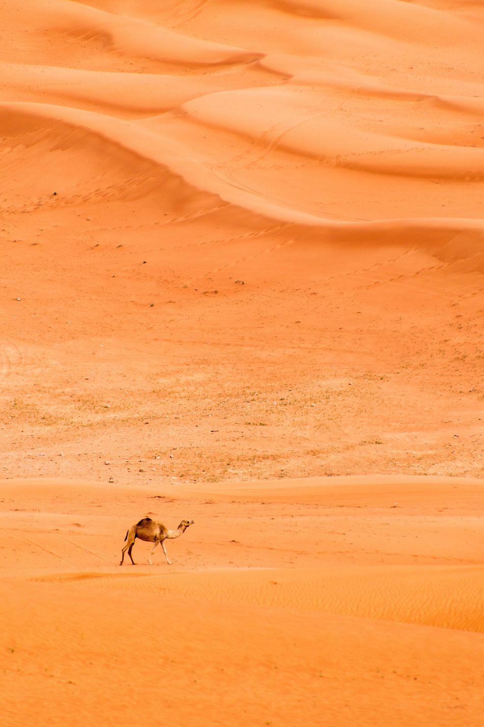 Beautiful stock photos of dubai, Animal Themes, Animal Wildlife, Animals In The Wild, Arid Climate