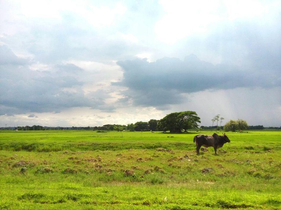 Burmese farm. . . Farm Animals