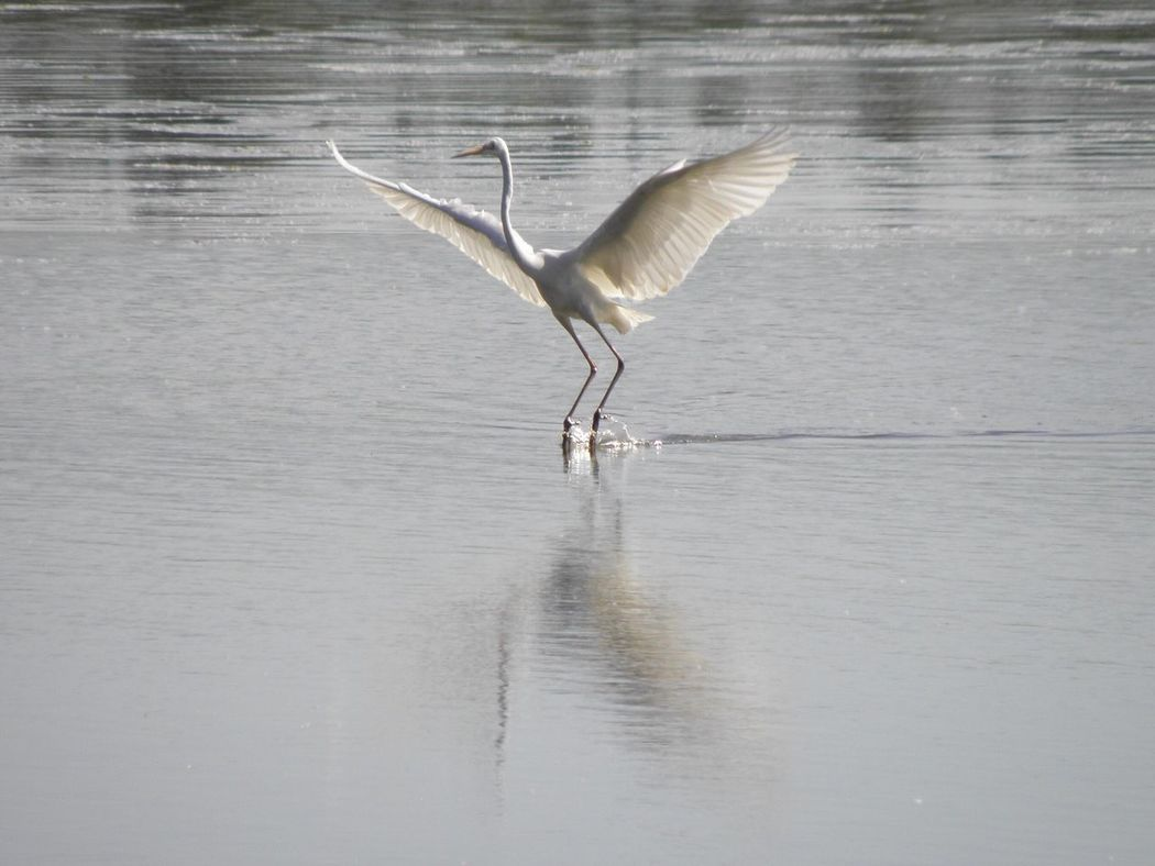 Oasi Di Alviano Water Animals In The Wild Waterfront One Animal Bird Animal Themes Lake Animal Wildlife Spread Wings Nature No People Reflection Day Outdoors Flying Beauty In Nature Heron White Heron