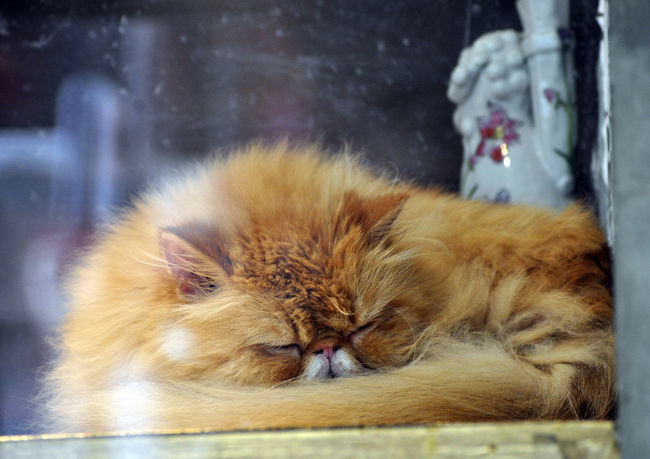 Cat sleeping in window of shop in Beijing, China. Beijing Cat China Chinaware Domestic Animals Feline Fur Lazy Pets Shop Windows Sleeping Snooze
