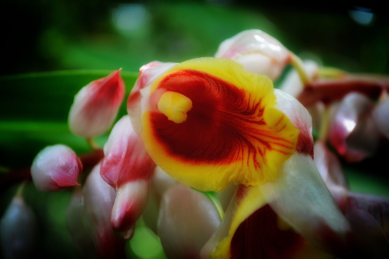 Flower Freshness Fragility Close-up Selective Focus Blossom Soft Focus at McKee Botanical Garden