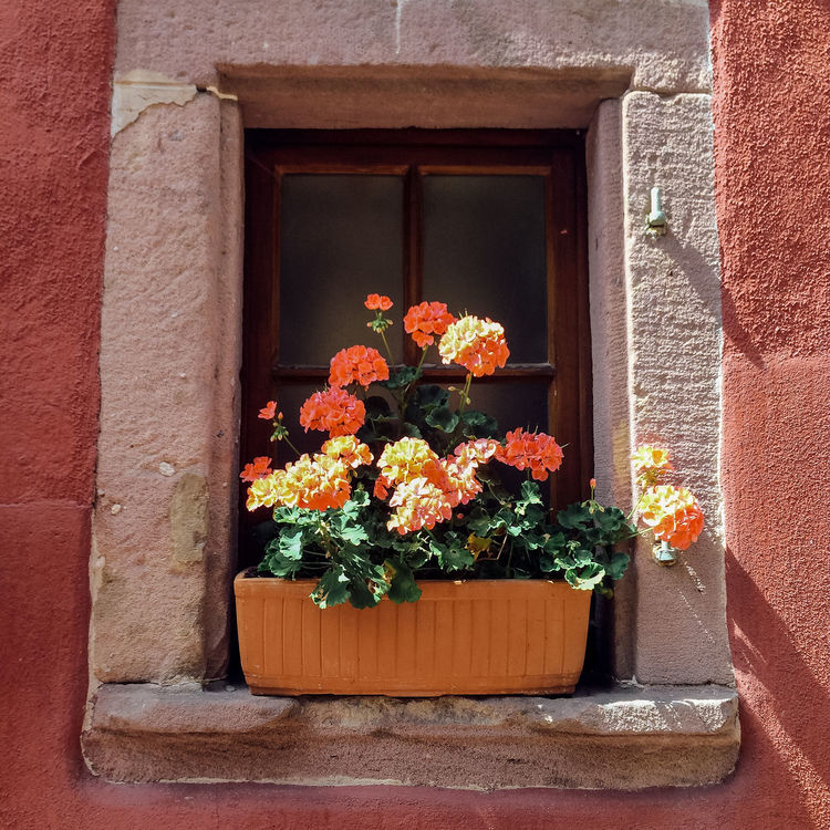 Window box with colourful flowers on window sill in Riquewihr, France Alsace Arrangement Day Decoration Flower Flowers France Freshness Front Or Back Yard Geraniums Growing Growth Leaf No People Old Orange Plant Potted Plant Red Riquewihr Sill Wall Window Window Box Yellow