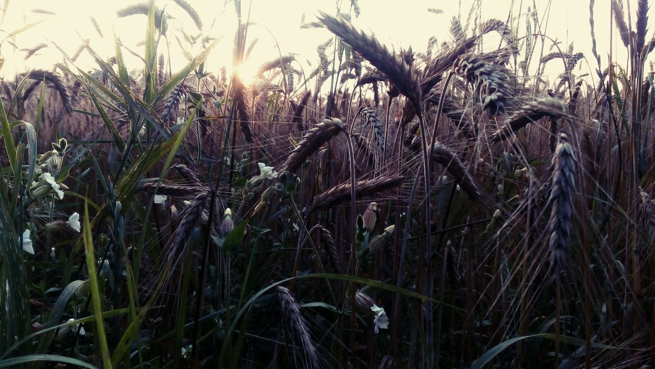 growth, nature, plant, field, tranquility, no people, outdoors, agriculture, grass, day, close-up, beauty in nature