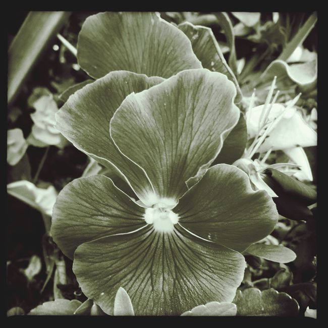 iPhone + hipstamatic Monochrome IPhone Flowers