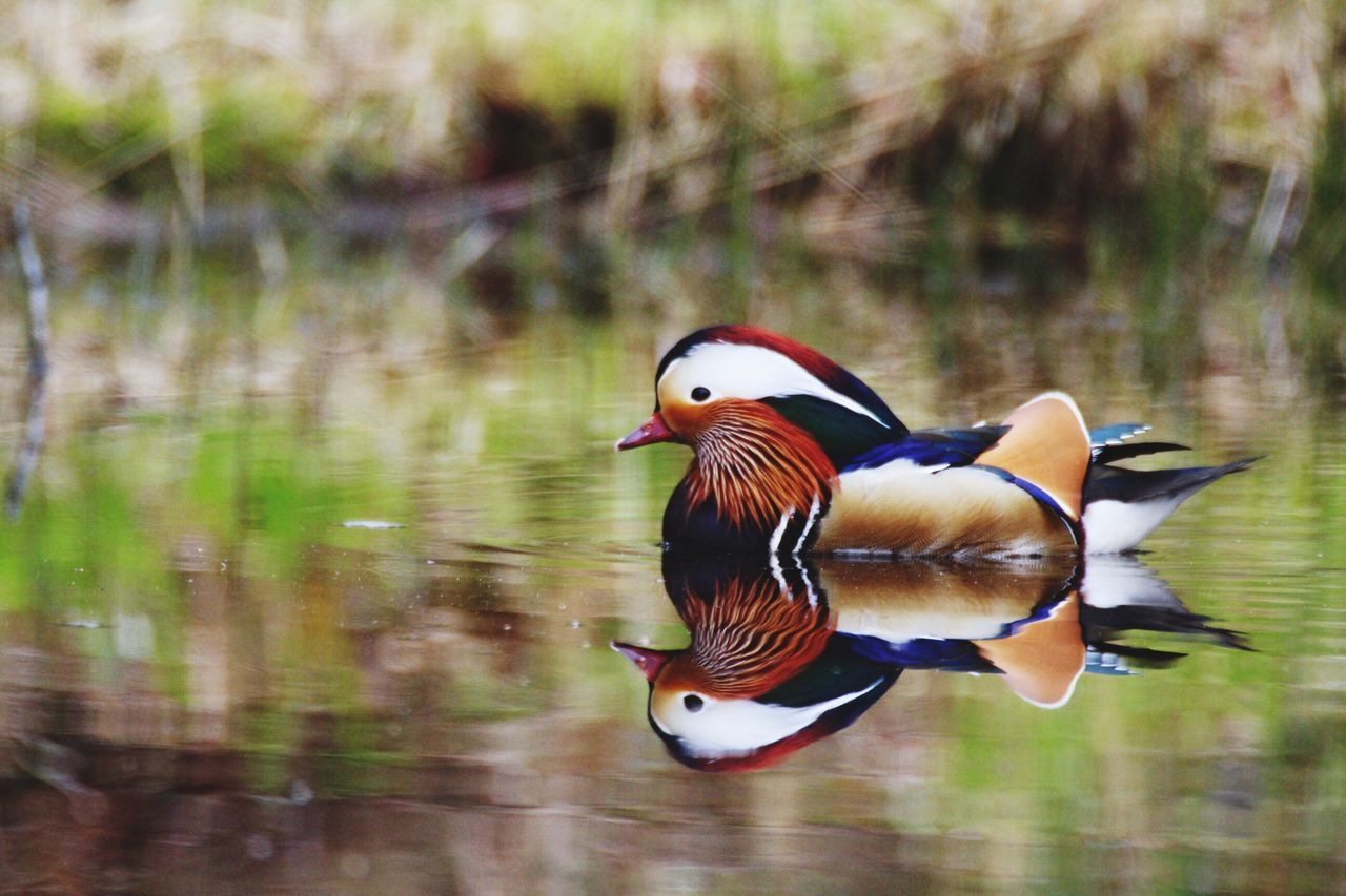 Mandarin Duck Animal Themes Duck Animals In The Wild Bird Lake Animal Wildlife One Animal Nature Beauty In Nature Multi Colored Water Reflection No People Motion Day Outdoors Swimming Close-up EyeEm Diversity EyeEmNewHere Art Is Everywhere