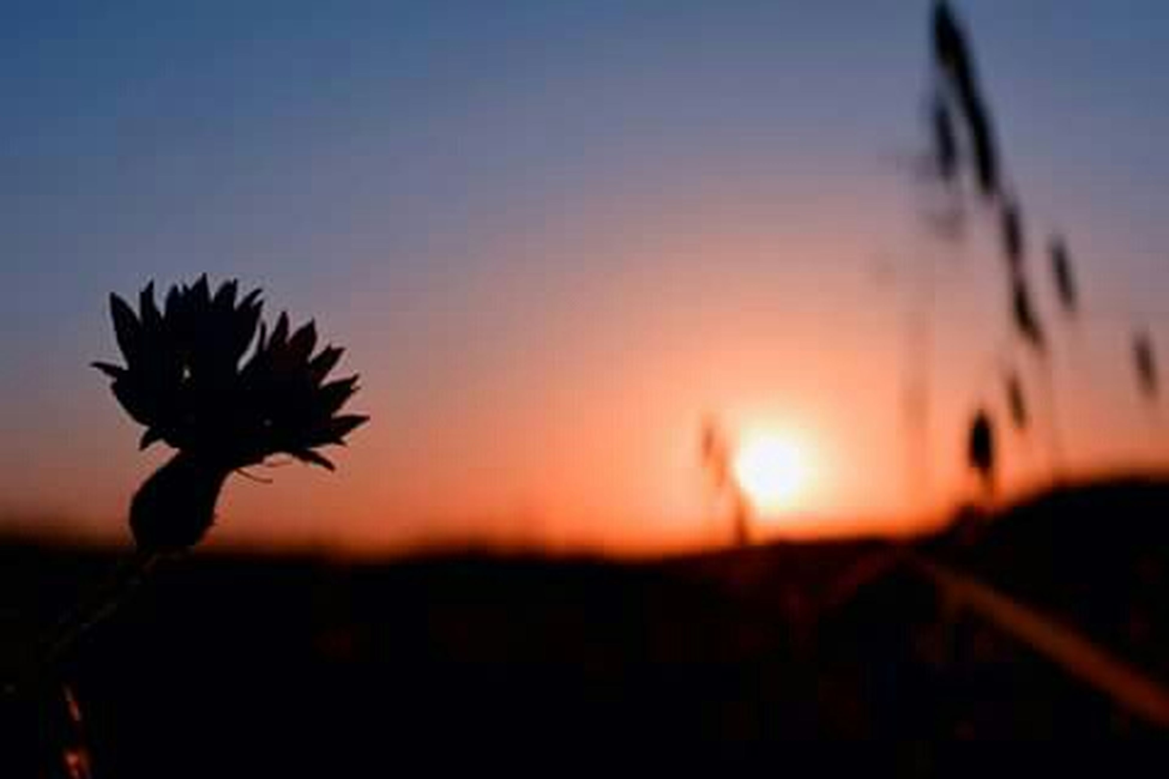 sunset, silhouette, growth, beauty in nature, nature, plant, sun, focus on foreground, sky, tranquility, orange color, stem, scenics, close-up, field, tranquil scene, selective focus, clear sky, sunlight, outdoors