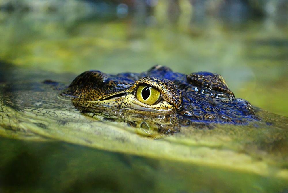 Crocodile Eyes Animal Wild Predator EyeEmFiveSenses Eye Eye Em Nature Lover Backgrounds Animal Themes Animal Photography Animal Head  Animal Portrait Animal_collection Wildlife Wild Animal Danger Dangerous Animals Dangerous