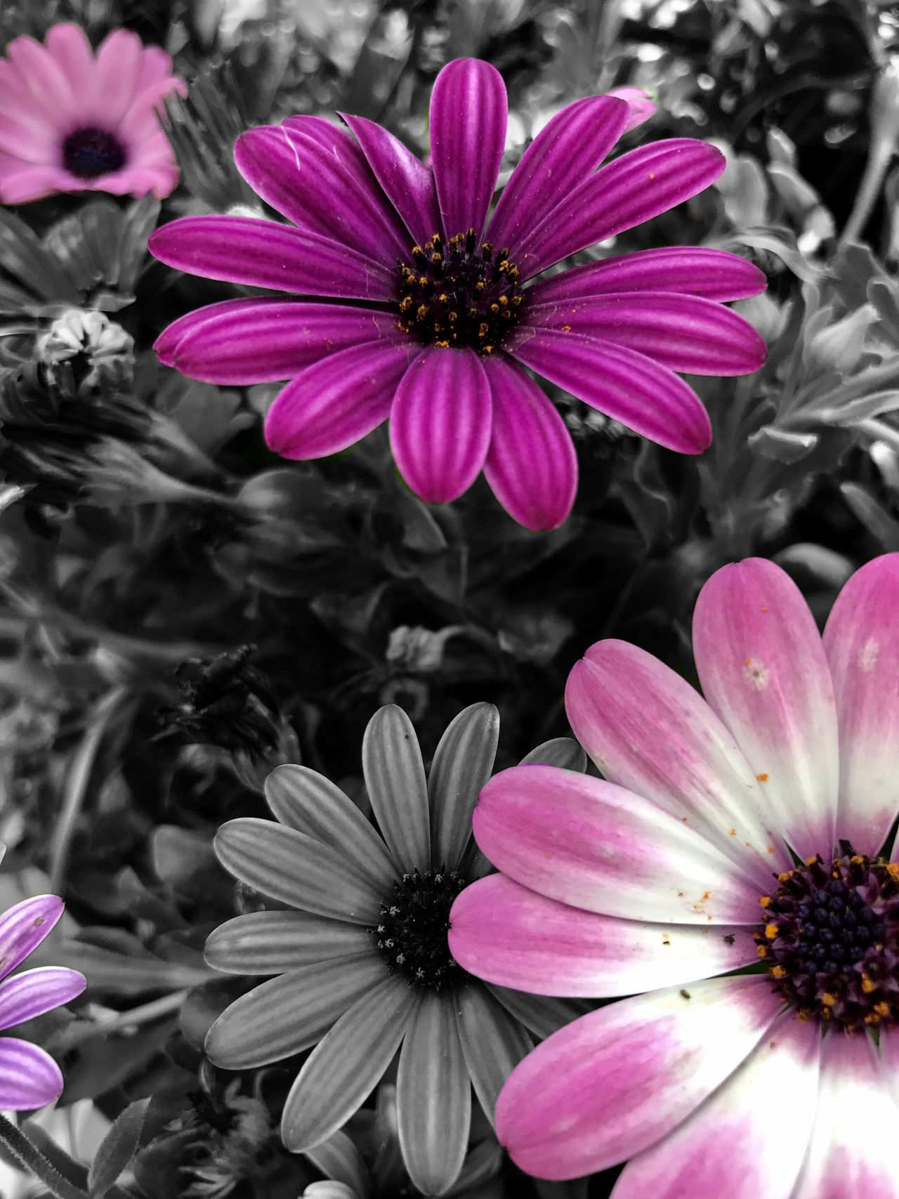 Flower Petal Fragility Beauty In Nature Flower Head Pink Color Osteospermum No People Pollen Nature Growth Blooming Close-up Freshness Day Blackandwhite Black And White Colors Artistic