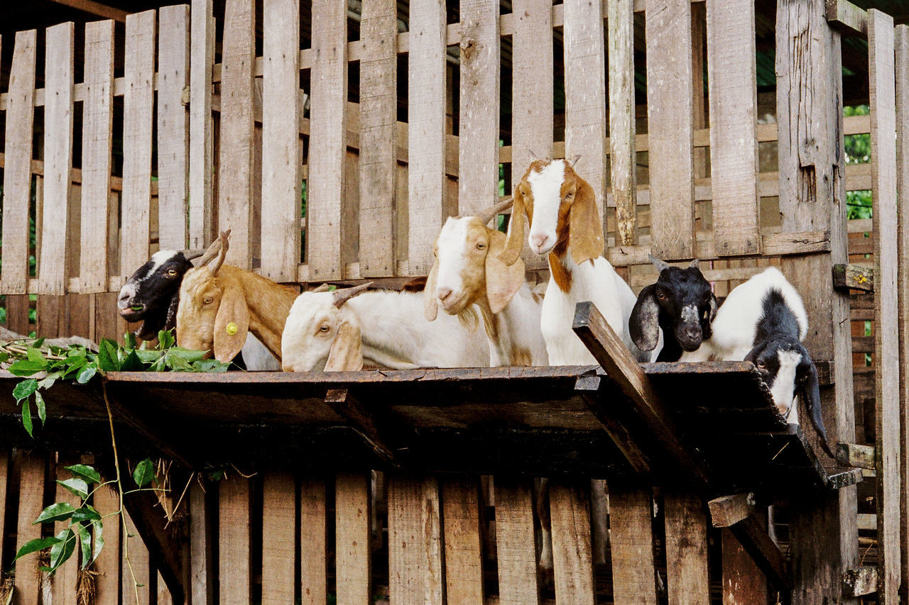 Built Structure Day Goat Goatee Goatfarm Goats Goats Beard Goats Life Goats On The Farm Goatsarecool Mammal Outdoors Relaxation Relaxing Time Resting Wood - Material