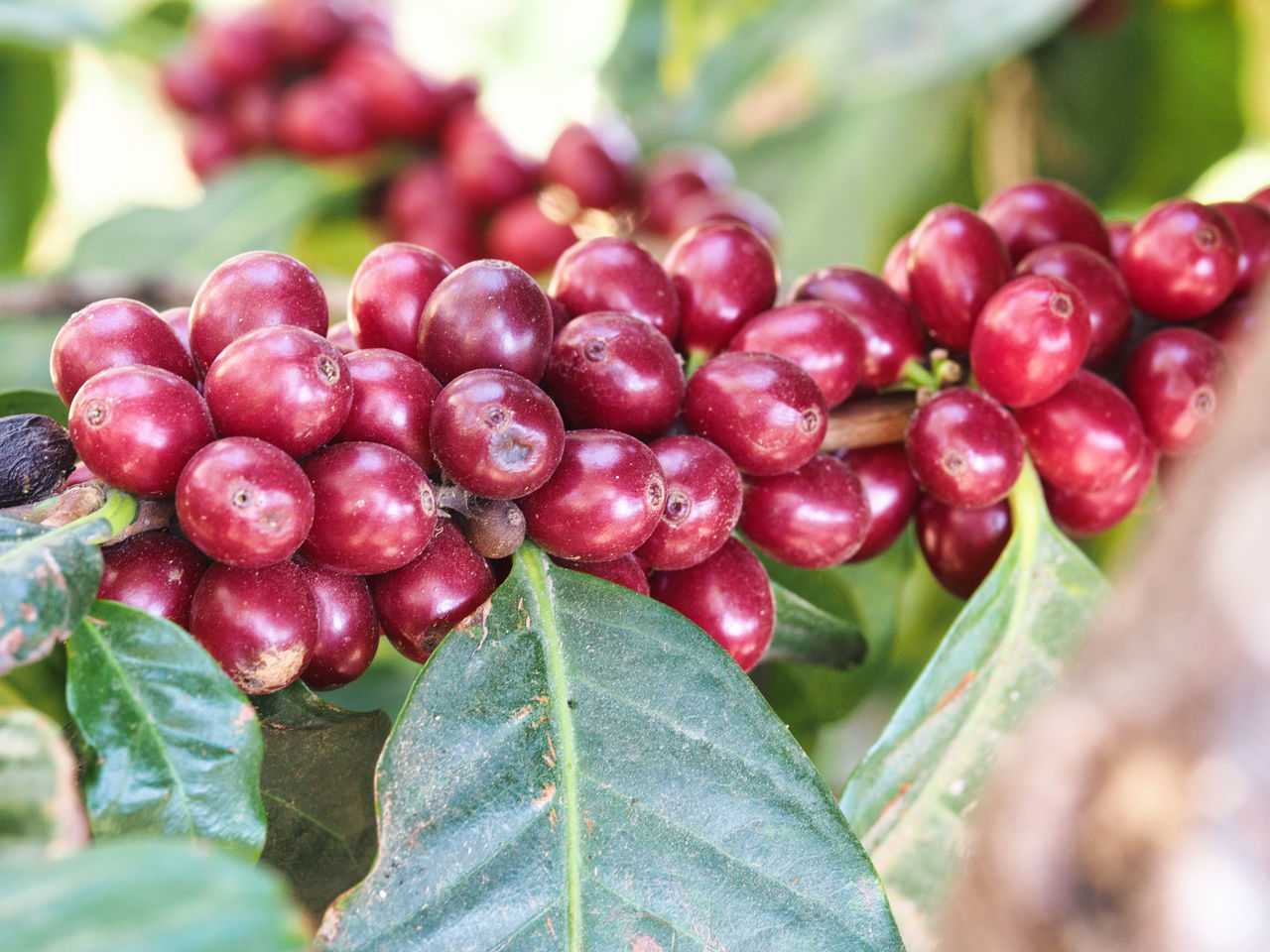 The making of coffee: Growing the plant Atitlan Lake Cherries City Close-up Coffee Coffee Beans Coffee Cherries Coffee Plantation Day Fair Trade Farm Focus On Foreground Food Freshness Freshness Green Color Growth Healthy Eating Leaf Nature No People Organic Outdoors Red Travel Photography