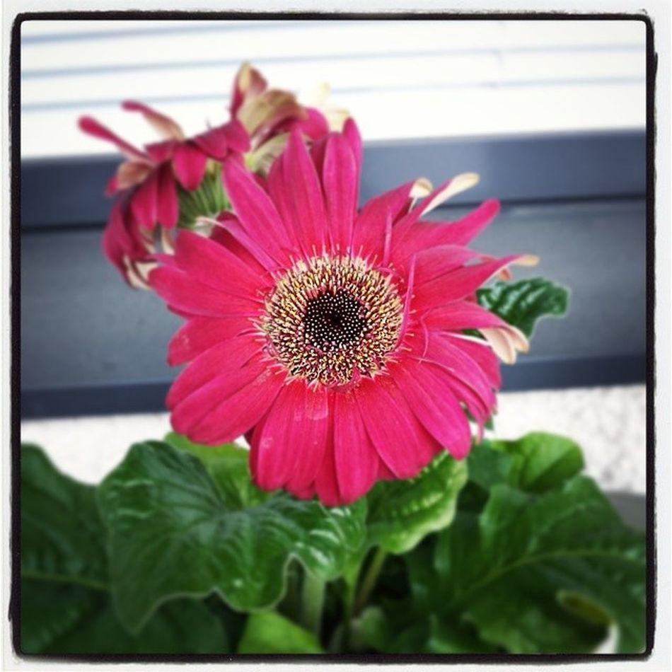 Gerbera Gerberdaisy Kesä Summer kukka flower
