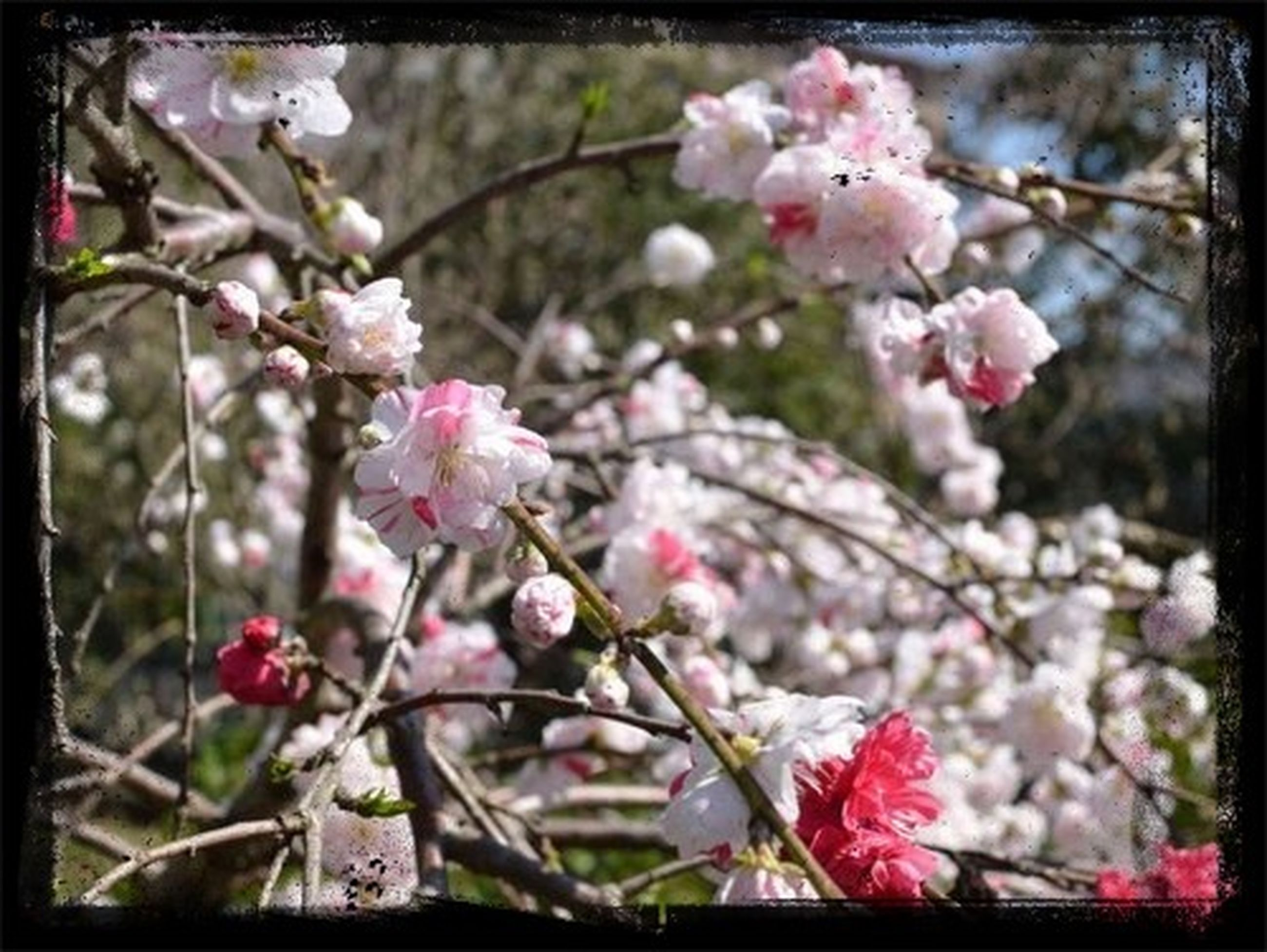 flower, freshness, fragility, growth, branch, pink color, beauty in nature, petal, nature, focus on foreground, blossom, transfer print, tree, blooming, close-up, twig, in bloom, auto post production filter, cherry blossom, cherry tree