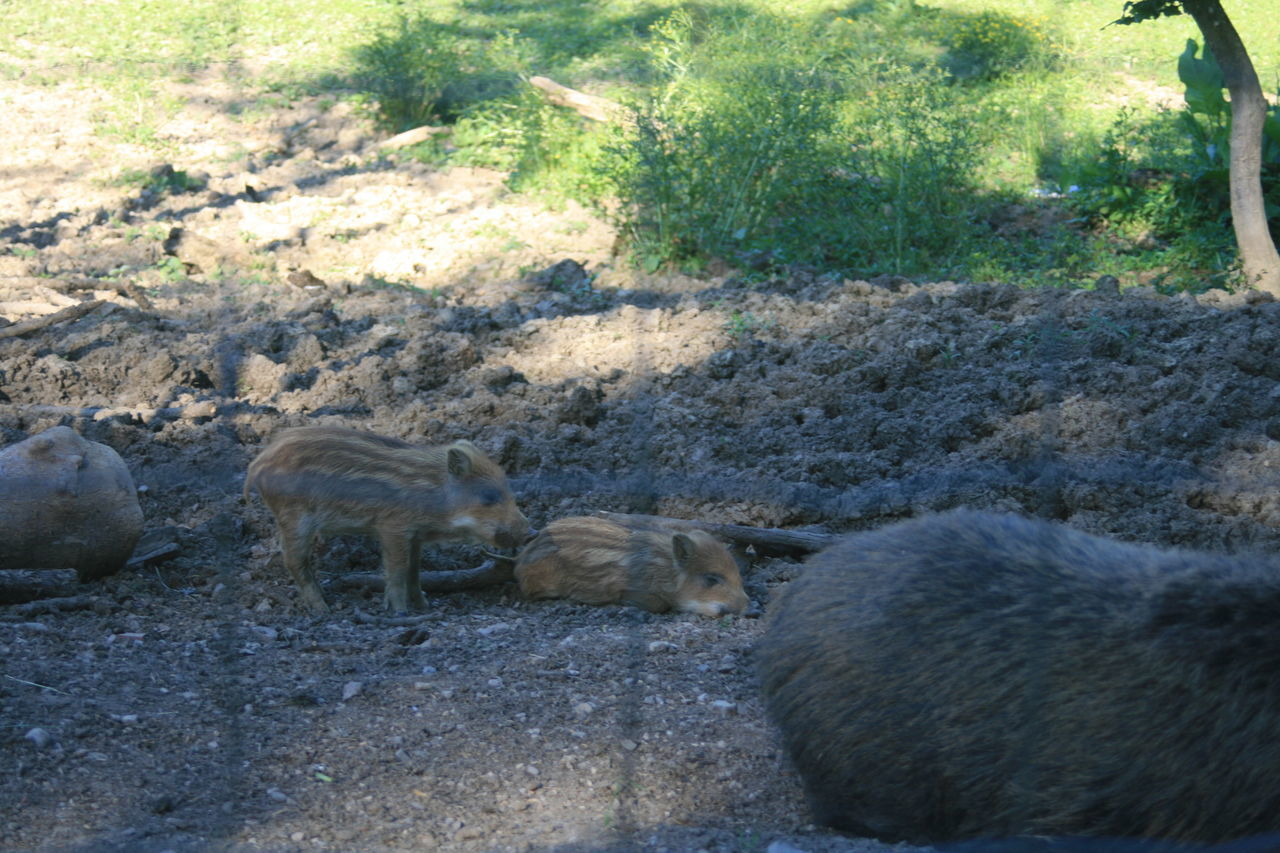 Animal Themes Animal Wildlife Animals In The Wild Day Mammal Nature No People Outdoors Wild Boar Young Animal Young Wild Boar