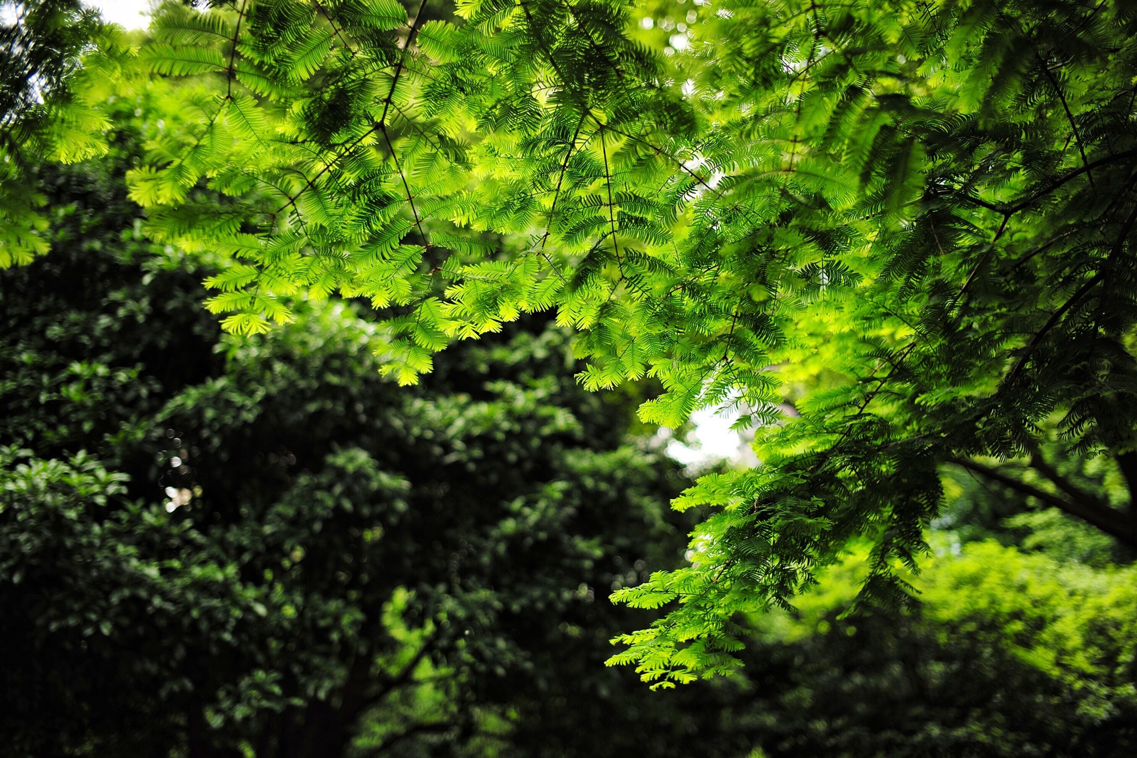 tree, green color, growth, leaf, lush foliage, branch, nature, tranquility, forest, beauty in nature, low angle view, green, tranquil scene, scenics, day, outdoors, no people, backgrounds, full frame, plant