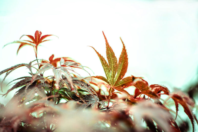 my lovely small japanese maple tree <3 Autumn Colors Beauty In Nature Blur Blurred Motion Blurry But Oh Well Blury Botany Close-up Deapth Of Field Eye4photography  EyeEm Best Shots EyeEm Nature Lover Freshness Growth Japanese Garden Japanese Maple Japanese Maple Leaves Japanese Maple Tree Leaf Nature Photography Naturelovers Plant Rain Raindrops Selective Focus