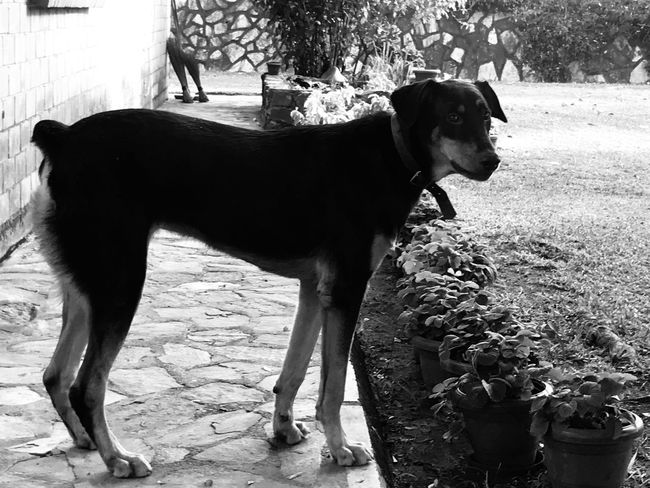 Troy Domestic Animals Animal Themes Mammal Dog Pets One Animal Standing Outdoors No People Day Full Length Nature