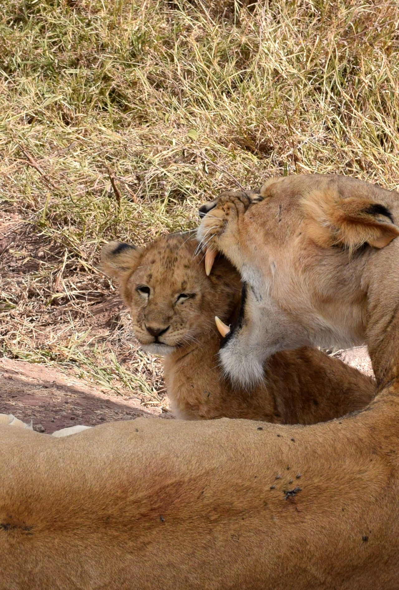 Beautiful stock photos of lion, Animal Family, Animal Themes, Animals In The Wild, Care