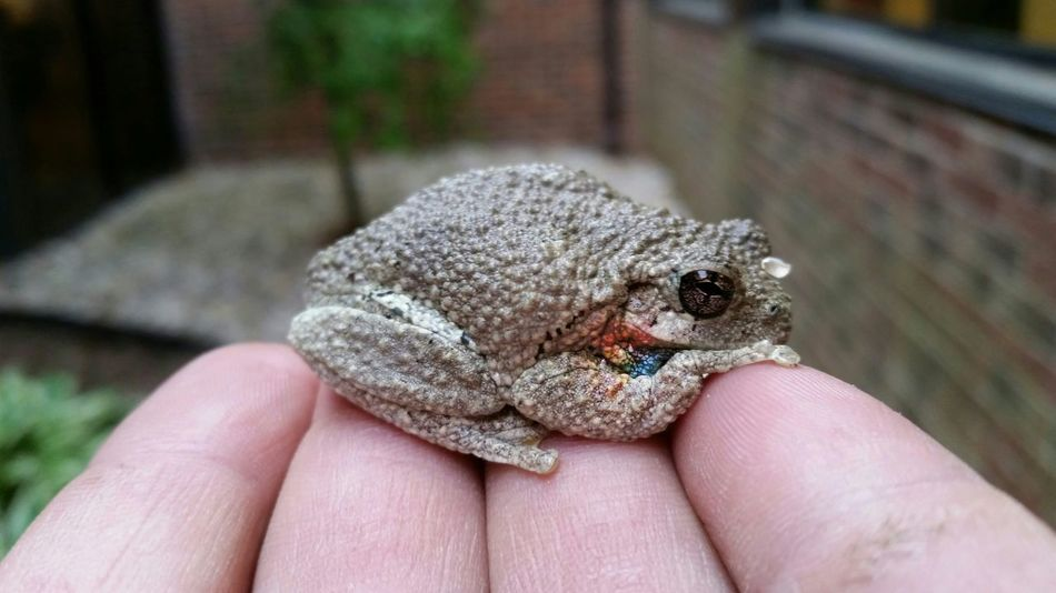 Beautiful stock photos of frog, Amphibian, Animal Themes, Beauty In Nature, Brown